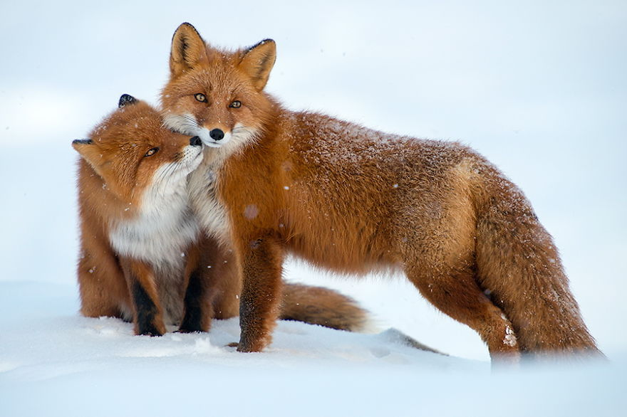 FoxesInSnow