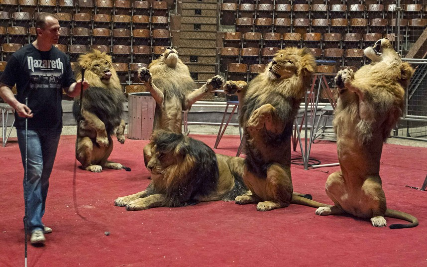 Lion tamer Oleksiy Pinko rehearses tricks with lions before their performance in a Kiev circus