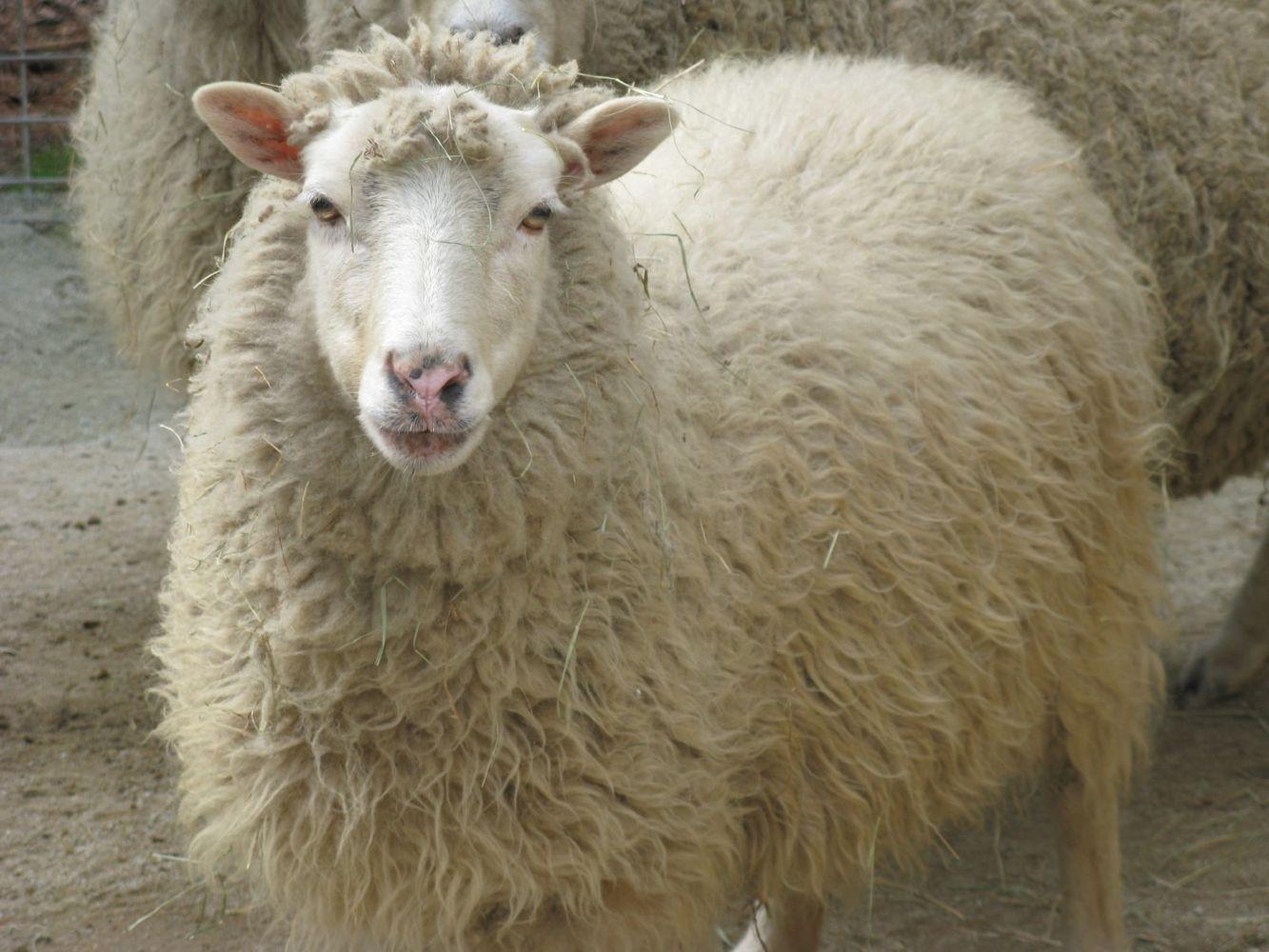 SheepBaja